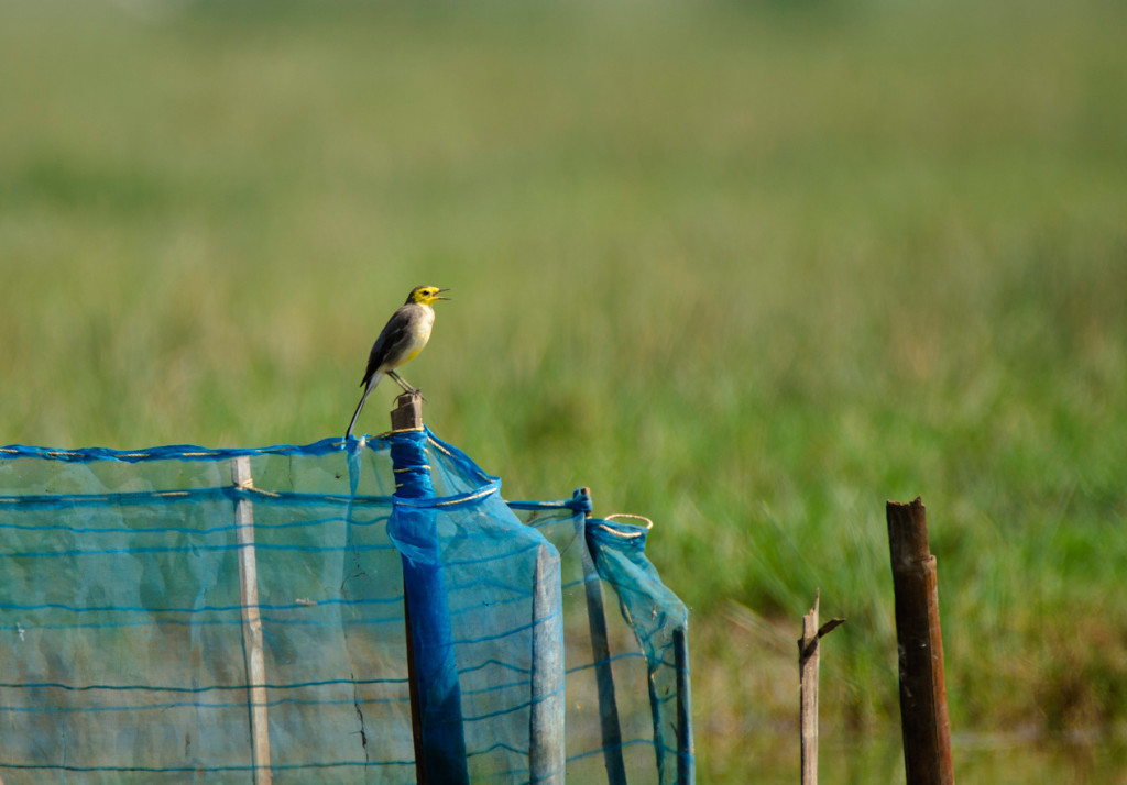 A small bird with yellow head that I couldn't identify