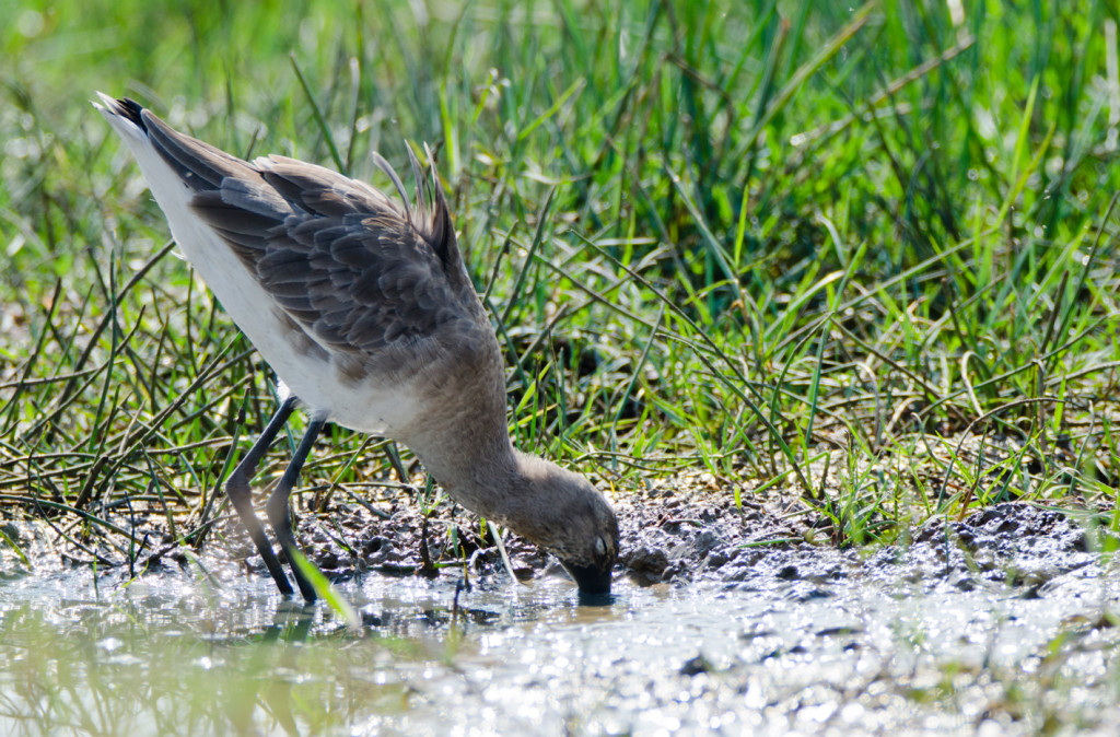Godwit in search of food