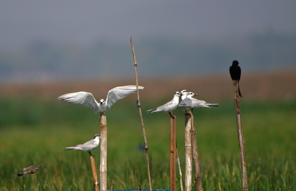 A group of whiskered terns in conversation with a black drongo