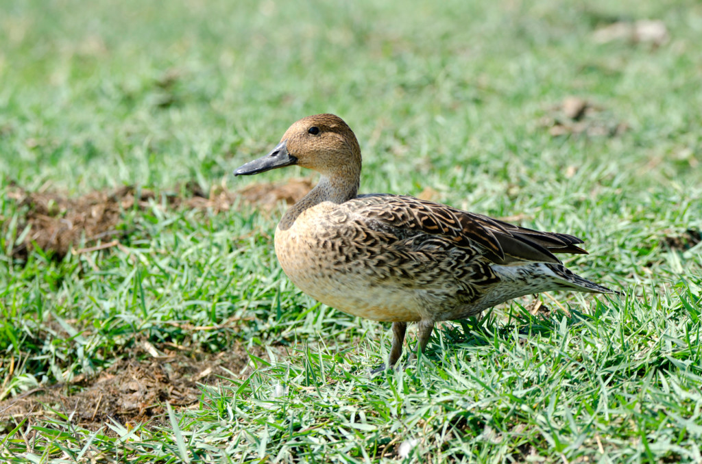 The northern pintail