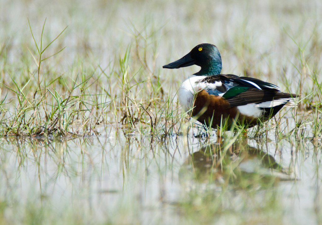 The colourful northern shoveler