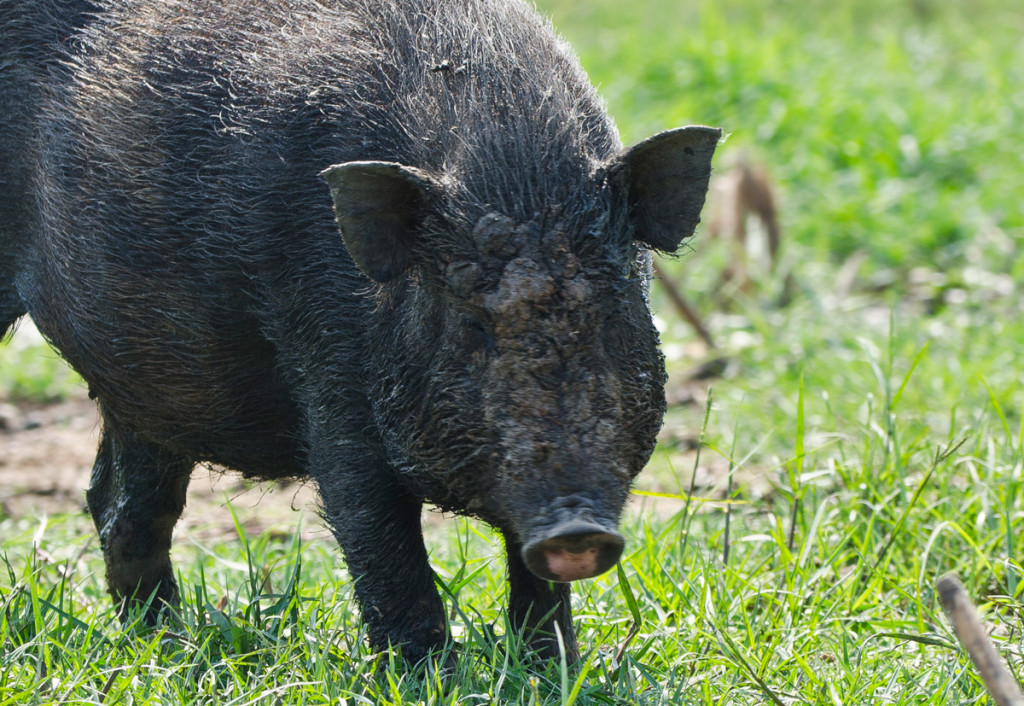 A pig looking up from digging the soft muddy earth