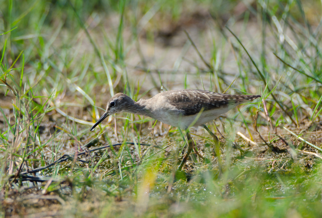 Quite possibly a sand piper