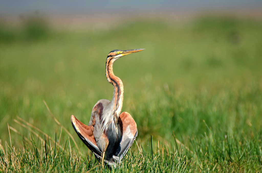 The purple heron posing with spread wings